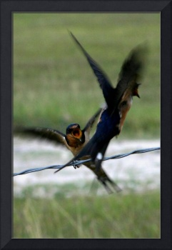 Swallows Fighting
