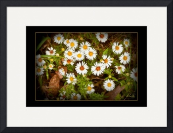 Wild Daisies by D. Brent Walton