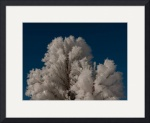 Ice Crystals on Pine Tree, Bryce Canyon National P by Dave Wilson