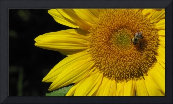 sunflower and bee, photography by lisa casineau an