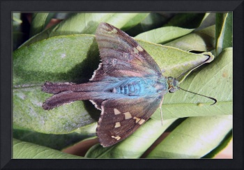 Long Tailed Skipper Butterfly on a Leaf