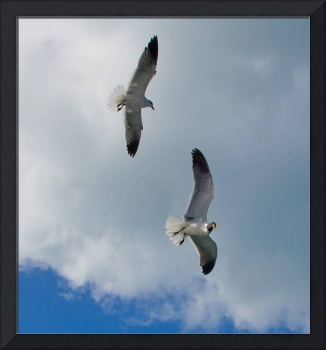 Kittiwakes Soaring in tropical sky
