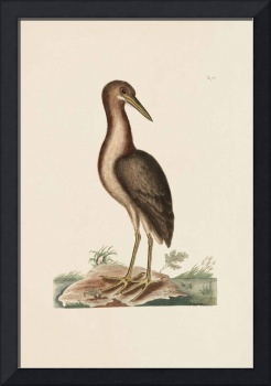 Mark Catesby~The Brown Bittern, The Natural Histor