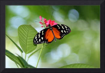 Tropical Hecale Longwing Butterfly