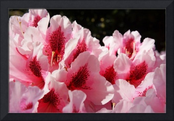 Rhodies Pink Flowers Photography Art Prints