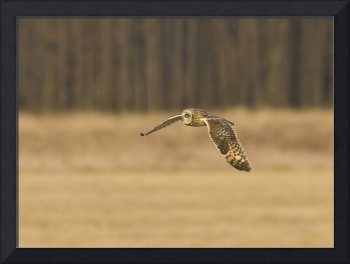 Short-eared Owl Flying Over Field