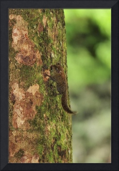 Pigmy Squirrel