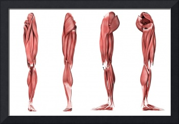 Medical illustration of human leg muscles, four si
