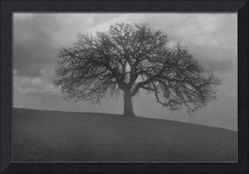 Oak Tree in Morning Fog- Black and White