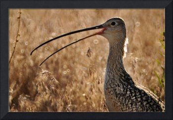 Curlew close up beak open bird lightened