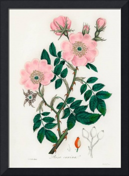 Vintage Botanical Dog Rose
