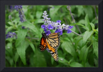 Monarch Butterfly Suspended from Flower