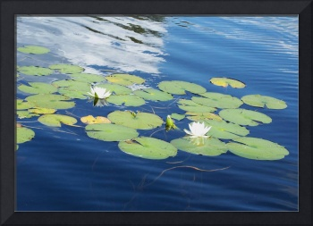 Blue water of the lake & elegant waterlilies