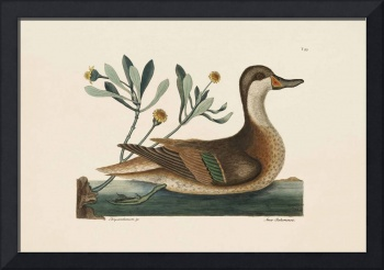 Mark Catesby~The Ilanthera Duck, The Natural Histo