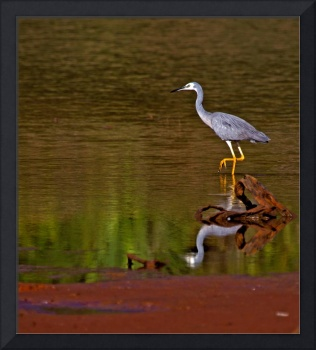 White Faced Heron And His Reflection