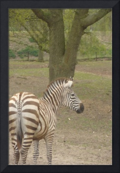 Zebra standing relaxt in the safari park
