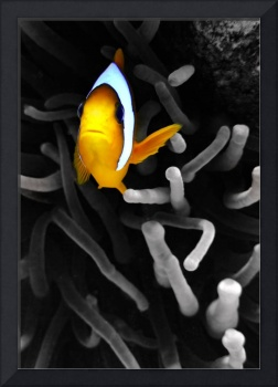 Colourful Clownfish