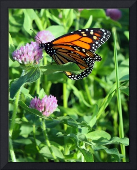 Butterfly on Pink Clover