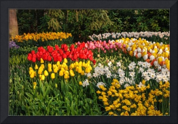 Colorful Patches of Tulips and Narcissus