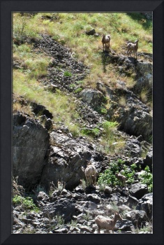 Wild Sheep along River in Idaho