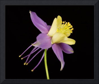 Yellow Purple Columbine