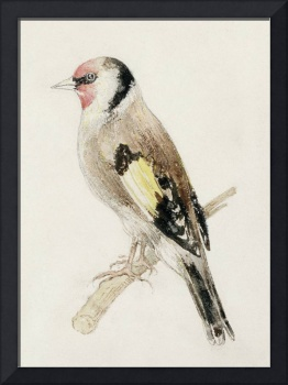 Goldfinch, from The Farnley Book of Birds, c.1816