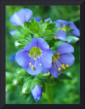 Jacob's Ladder Flower