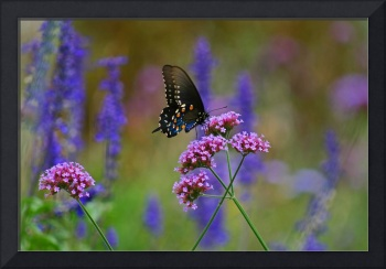 Butterfly   Pipevine Swallowtail on purple
