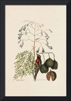 Mark Catesby~The Bahama Finch, The Broad Leafed Gu