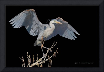 great blue heron scratchboard