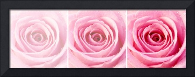 Pink Rose with Water Droplets Triptych