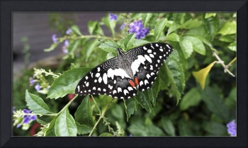 Black white red colored butterfly next to flowers.
