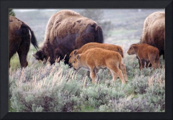 Bison Calves in the Rain