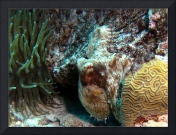 Caribbean Reef Octopus hiding in Coral Bowl