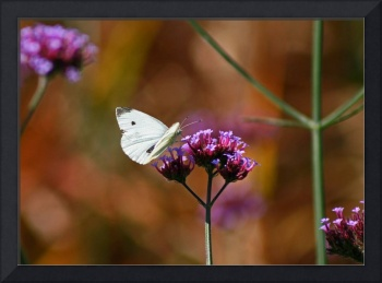 Butterfly  Cabbage White Butterfly in Autumn