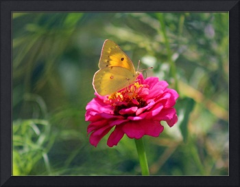 Orange Sulphur Butterfly on Fuschia Zinnia