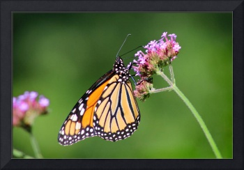 Monarch Butterfly On Verbena