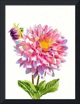 one colorful dahlia on white with bud 9x12