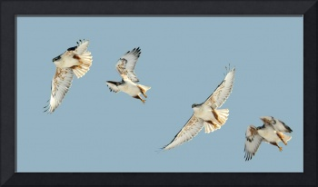 ferruginous hawk near palmyra composite shot crop
