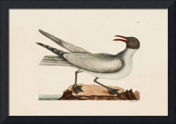 Mark Catesby~The Laughing Gull, The Natural Histor