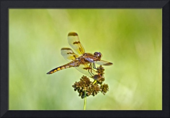 Halloween Pennant Dragonfly - Flying Jewel