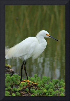 Snowy Egret in a Lake
