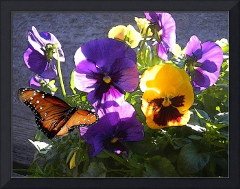 MONARCH IN THE PANSIES