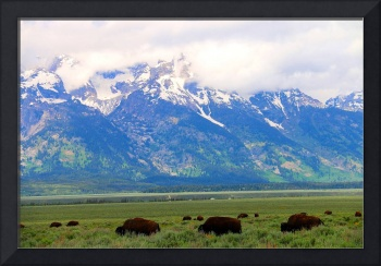 Grand Teton WY Buffalo