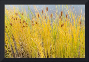 Colorful Autumn Cattails