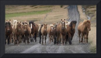 Icelandic Horses on Dirt Road