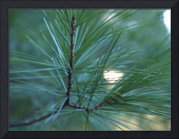 Pine Needles Macro Photography