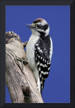 Downy Woodpecker Photograph