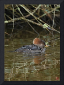 Hooded Merganser-female