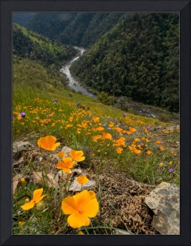 Poppies and American River IV